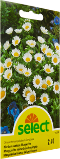 Marguerites naines blanches