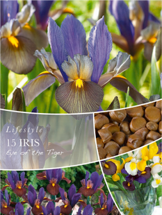 Bulbes de fleurs iris EYE OF THE TIGER