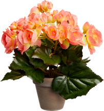 Begonia lachs in Topf 11 cm